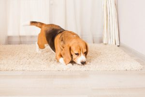 Benefits of Taking Help from Scent Detection Dogs to Identify A Bed Bug