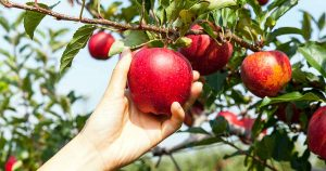 Cultivating Fruit Trees 101: A Beginner's Guide